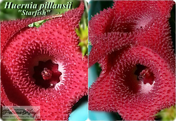 Huernia pillansii